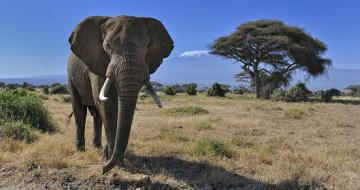 Photo of an African Elephant